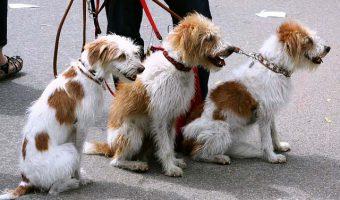 Como encontrar a un paseador de perros bueno