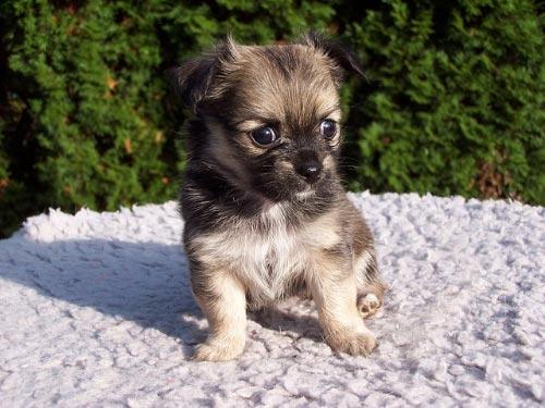 Nombres para Chihuahuas Machos