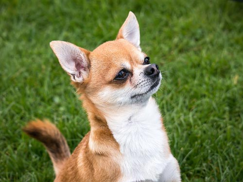 Nombres para Chihuahuas Mexicanos