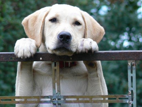 Los perros labradores adoran comer