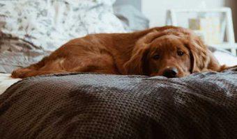 Porque mi perro se hace pipi en la cama