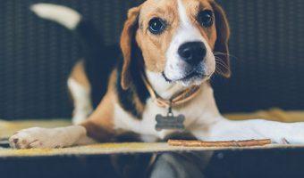 Por que los perros persiguen o ladran a su cola