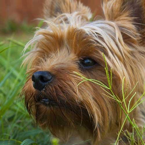 Causas por las que se hace pipi un perro
