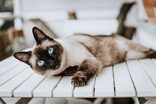 datos sobre los gatos siameses