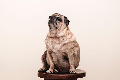 Efectos de la obesidad en los perros