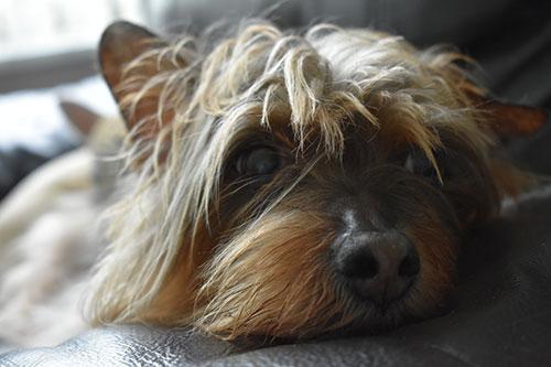 Desventajas de dormir con mi perro