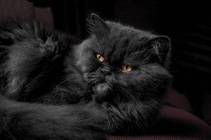 Curiosidades de los gatos persas