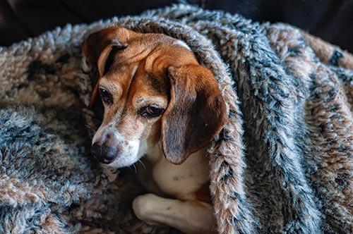 Los perros pueden sufrir resfriado
