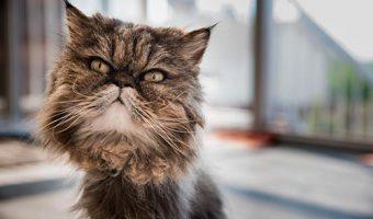 Razas de gatos peludos